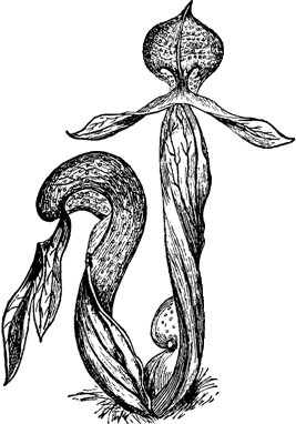 Darlingtonia Logo